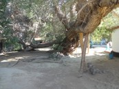 Willow tree in need of support
