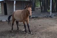 Kyrgyz horse - almost donkey size