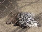 Porcupine at Karakol animal refuge