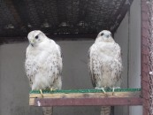 Birds at farm 4 Falcons