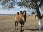 A dual-humped camel herd (or whatever camels group in) just outside the national park.