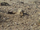 A steppe mouse. Very hard to catch a photo as they flit from bush to bush to burrow (hence this unflattering angle). They make squeaky bird-like calls to warn others of danger.