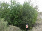 A particular rare variety of Ash (Aspen) tree found only in this part of Kazakhstan, and at similar latitudes in Canada.