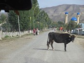 This village cow wasn't that interested in moving out of the way