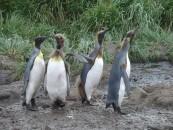 Salisbury Plain - King Penguin group photo